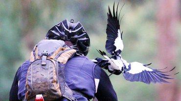 magpie-close-call