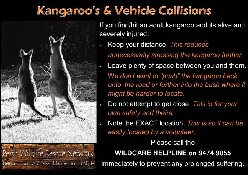 adult kangaroos cars
