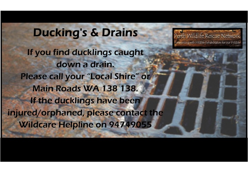 ducklings in drain